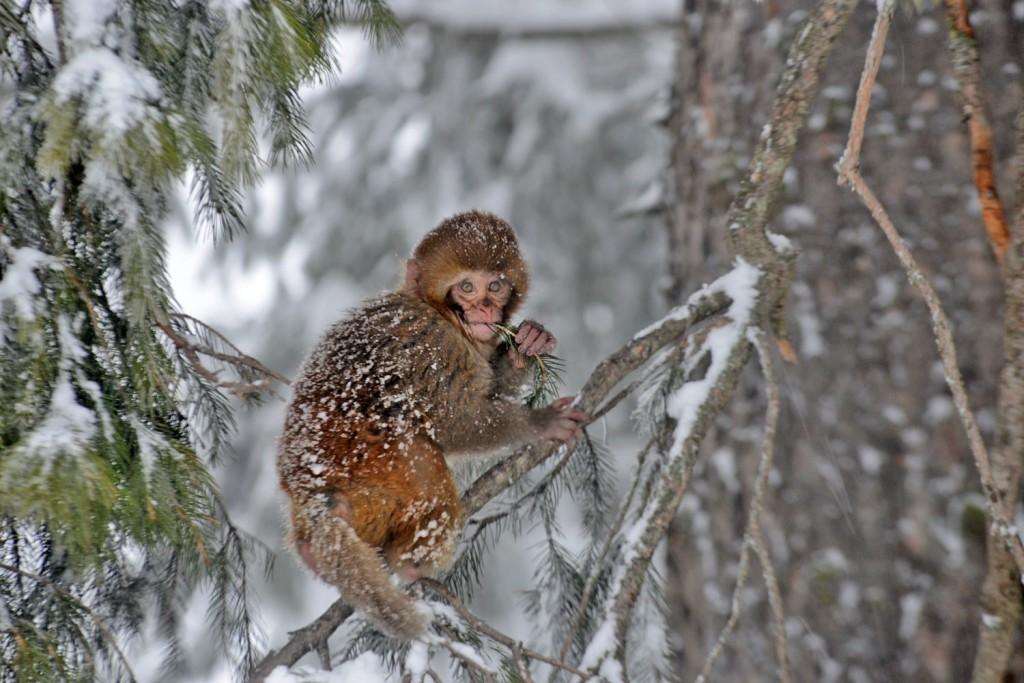 Monkey hill, Gulmarg